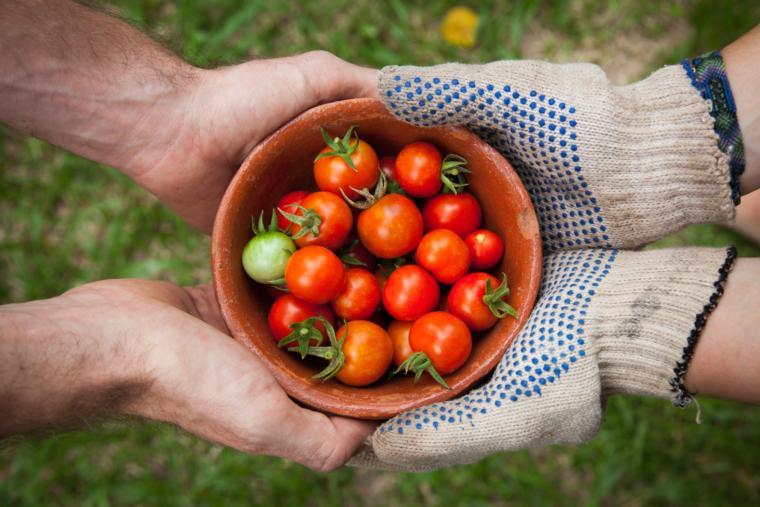 ruke drže posudu sa paradajzom